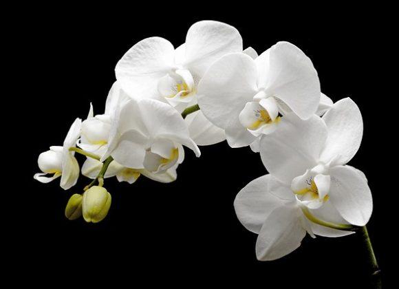 Leçon de l'orchidée.