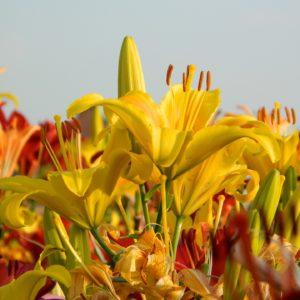 Les fleurs des champs.